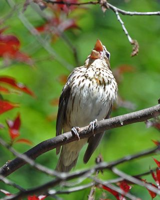 Rose-breasted Grosbeak female singing DSC_1215