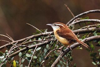 Carolina Wren web