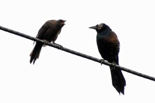 Common Grackle adult and young DSC_0333