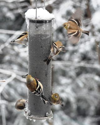 American Goldfinches winter DSC_3511