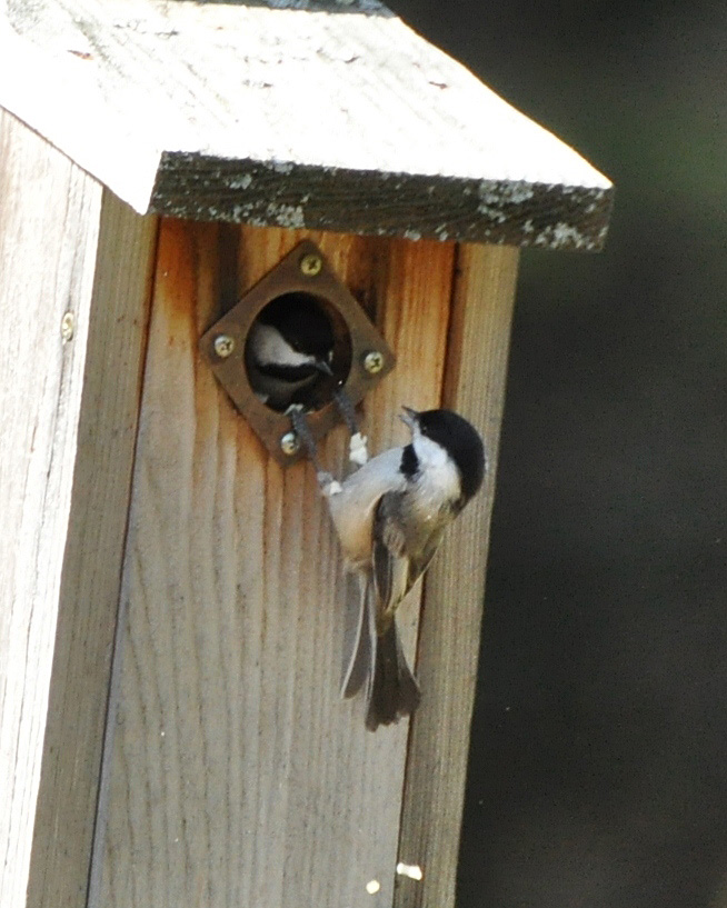 Black-capped Chickadees DSC_3744