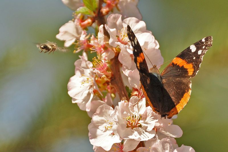 Red Admiral and bee DSC_3807