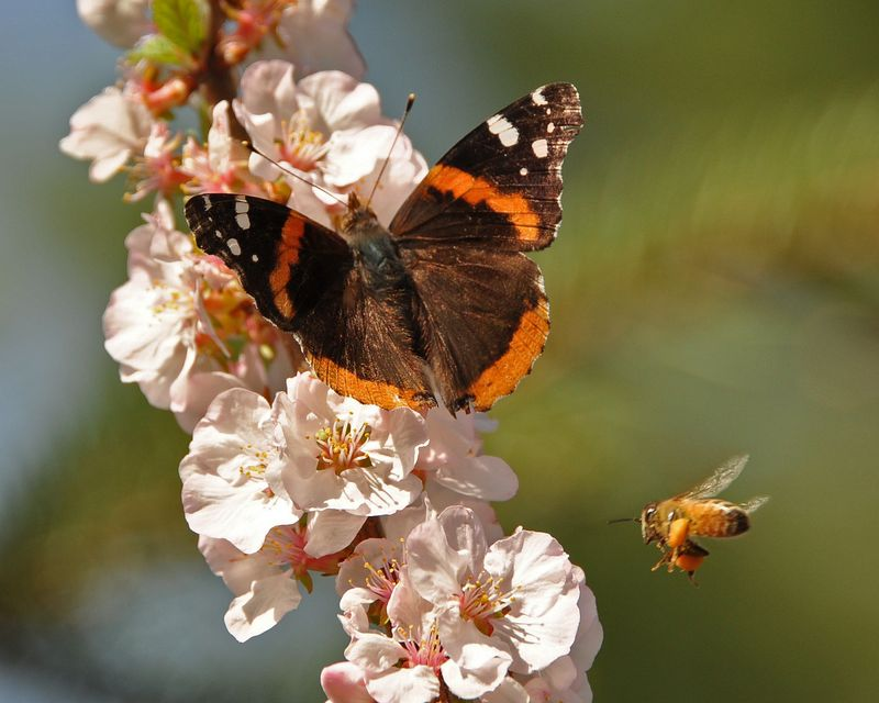 Red Admiral and bee DSC_3810