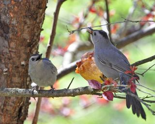 Two Gray Catbirds at pear DSC_4627 ps
