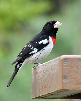 Rose-breasted Grosbeak DSC_4303