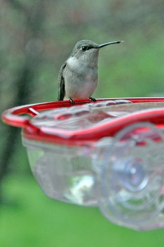 Ruby-throated Hummingbird on window feeder DSC_4371 4x6