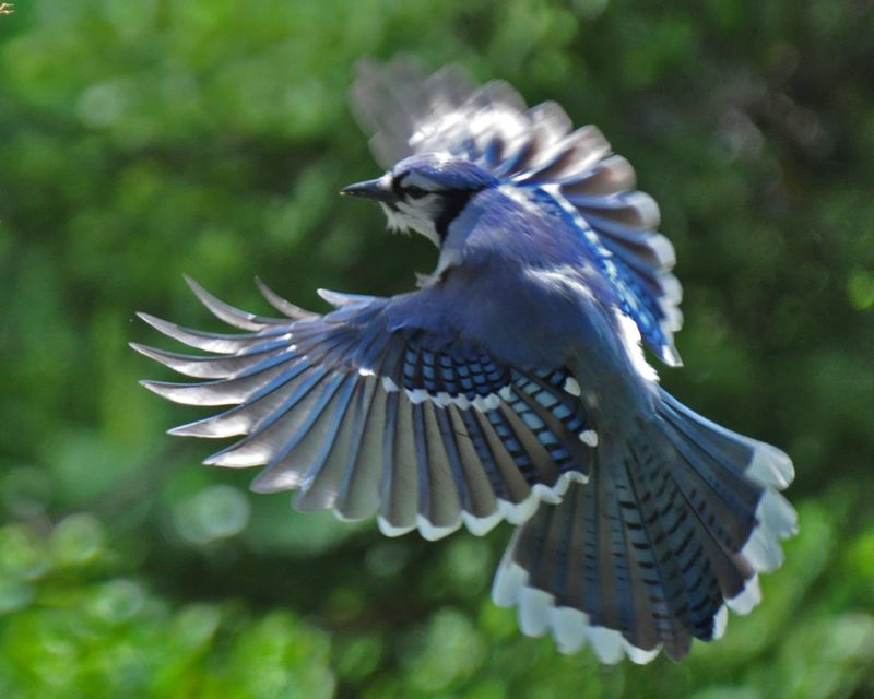 Blue Jay in flight DSC_0869 ps