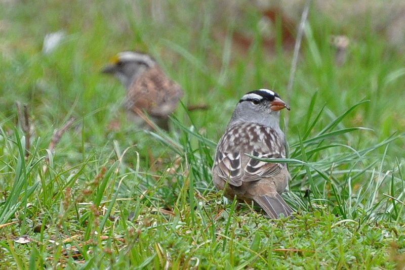 White-crowned and White-throated Sparrows DSC_0120