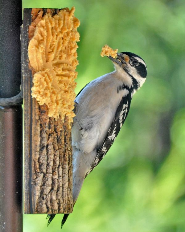 Wild Birds Unlimited Common Michigan Birds I Can See At: Bark Butter Take-out