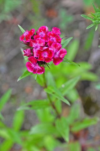 Sweet William DSC_1448