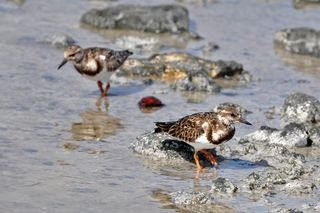 Ruddy Turnstones DSC_0335
