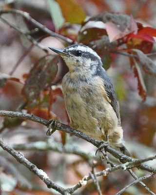 Red-breasted Nuthatch DSC_0292