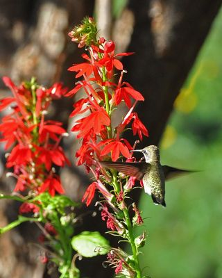 Hummingbird at Cardinal flower DSC_0717