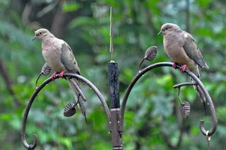 Mourning Doves DSC_0066 4x6
