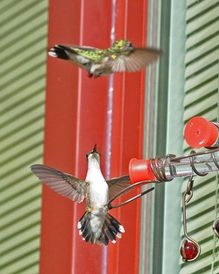 Ruby-throated Hummingbird confrontation DSC_2625