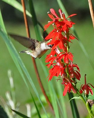 Hummingbird at Cardinal flower DSC_0713