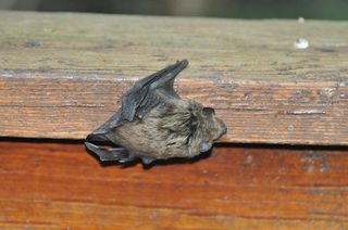 Big Brown Bat DSC_1249