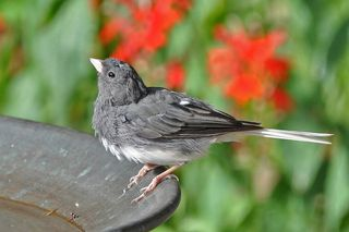 Dark-eyed Junco molting DSC_2577