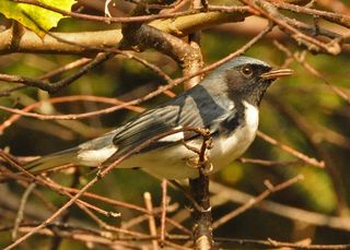 Black-throated Blue Warbler DSC_1405