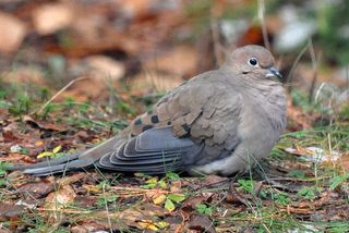 Mourning Dove DSC_0962 web