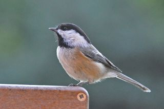 Black-capped Chickadee DSC_1338