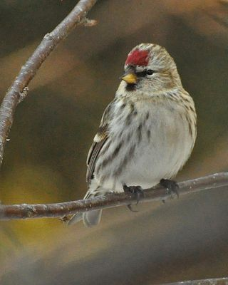 Common Redpoll DSC_6306