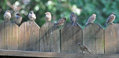 House Sparrows on fence DSC_0120