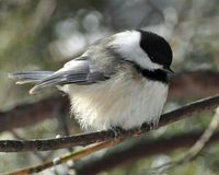 Black-capped Chickadee DSC_5829