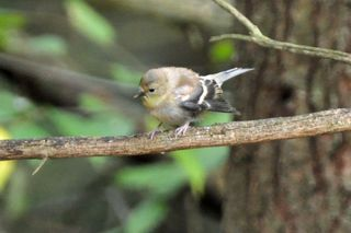 American Goldfinch fledgling DSC_1407