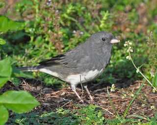 Dark-eyed Junco DSC_1553