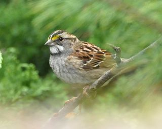 White-throated Sparrow DSC_1250