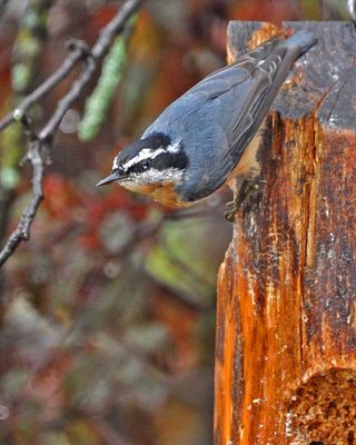 Red-breasted Nuthatch DSC_0343