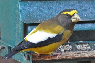 Evening Grosbeak DSC_0439