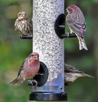Purple Finches safflower tube DSC_1495
