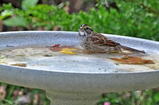 White-throated Sparrow DSC_1664