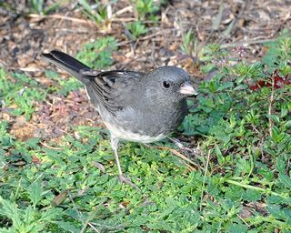 Dark-eyed Junco DSC_1544