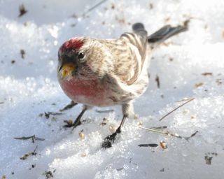 Common Redpoll DSC_6100