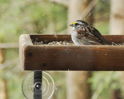 White-throated Sparrow window tray DSC_3631