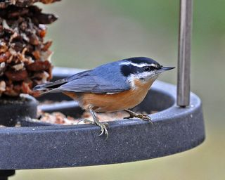 Red-breasted Nuthatch DSC_1782