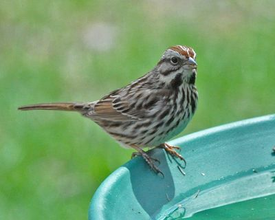 Song Sparrow on birdbath DSC_1431