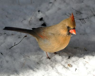 Northern Cardinal female DSC_2605