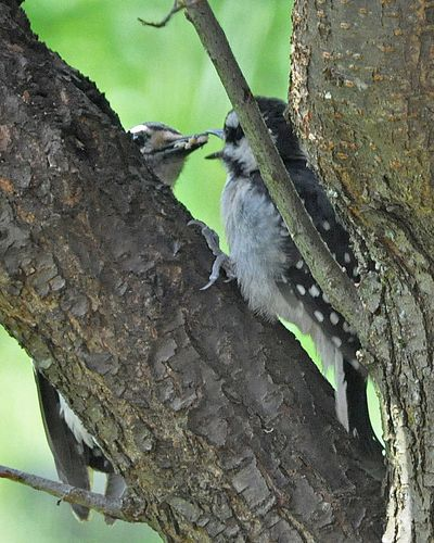 Fledgling Hairy Woodpecker DSC_0510