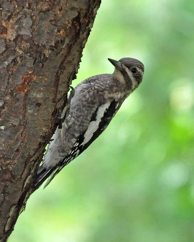 Yellow-bellied Sapsucker young DSC_1842