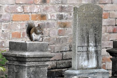 Cemetary Squirrel DSC_0867