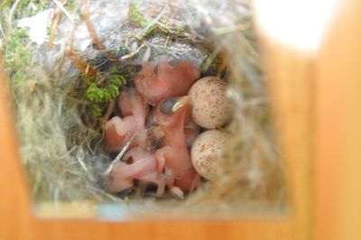 Black capped Chickadee babies 052713 back NFP DSC_2507