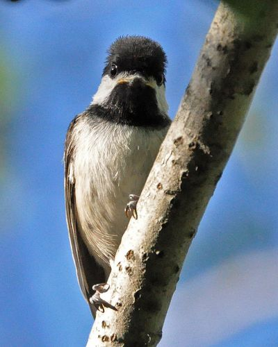 Black-capped Chickadee young DSC_1286