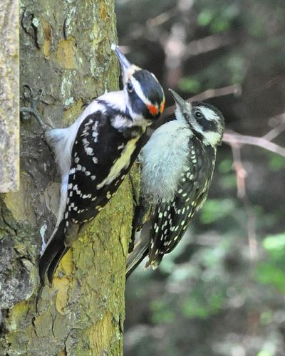 Hairy Woodpecker male w young female DSC_1115