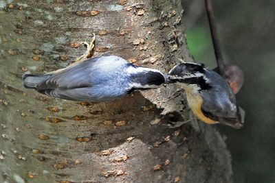 Red-breasted Nuthatch young w male DSC_1357
