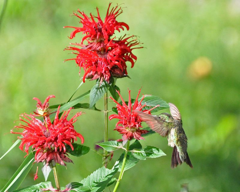 Ruby-throated Hummingbird Bee Balm DSC_2023 L