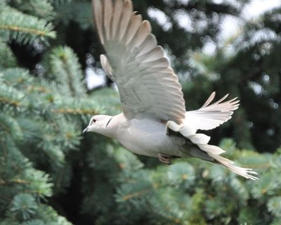 Eurasian Collared Dove DSC_1528